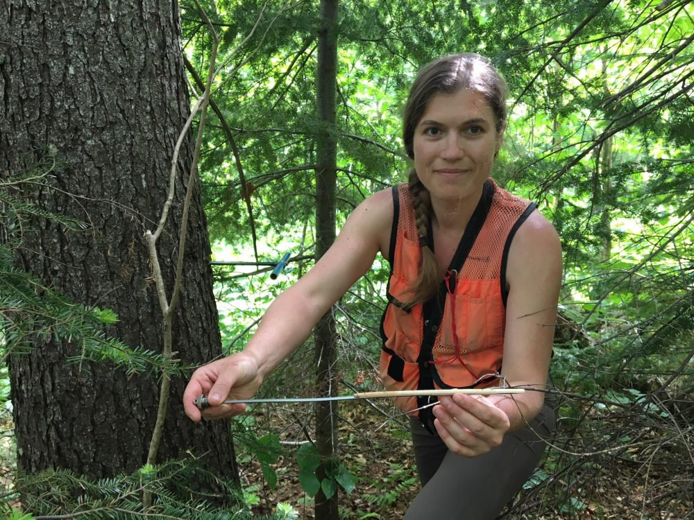 Scientist Alexandra Kosiba shows a core sample from a red spruce that shows strong growth over the last decade. (John Dillon/VPR)