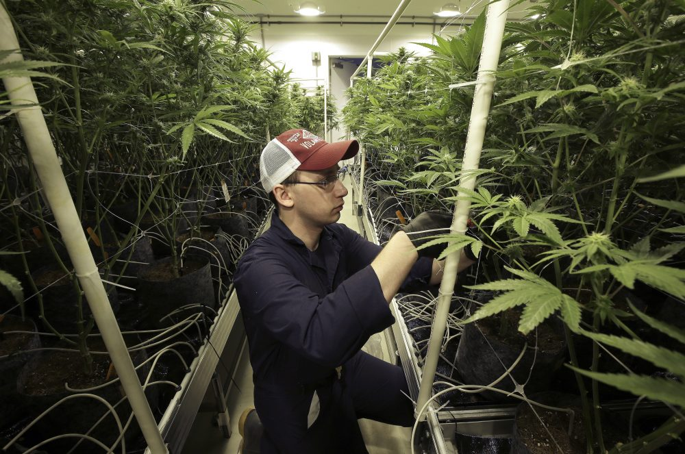 Head grower Mark Vlahos, of Milford, Mass., tends to cannabis plants, Thursday, July 12, 2018, at Sira Naturals medical marijuana cultivation facility, in Milford, Mass. (Steven Senne/AP)