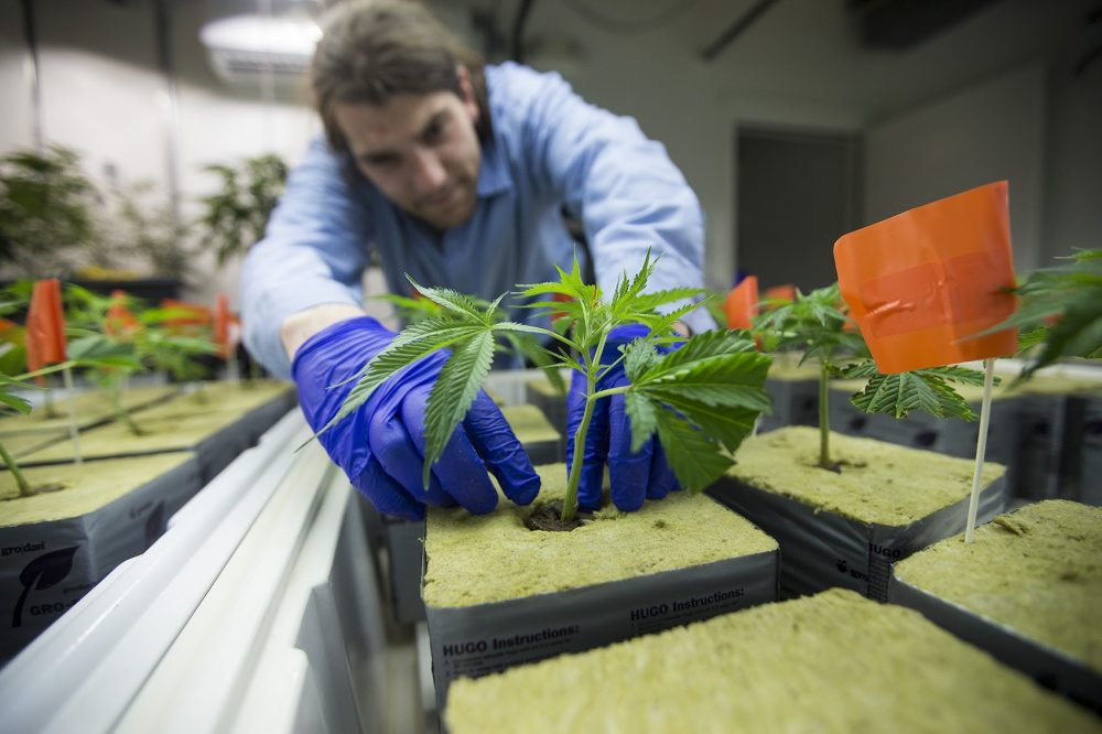 "Chair Steven Hoffman says the CCC is in a ""rhythm"" with its approval process. Here, staff at NETA transplant seedlings into pots in the nursery at the NETA cultivation center in Franklin. (Jesse Costa/WBUR)"