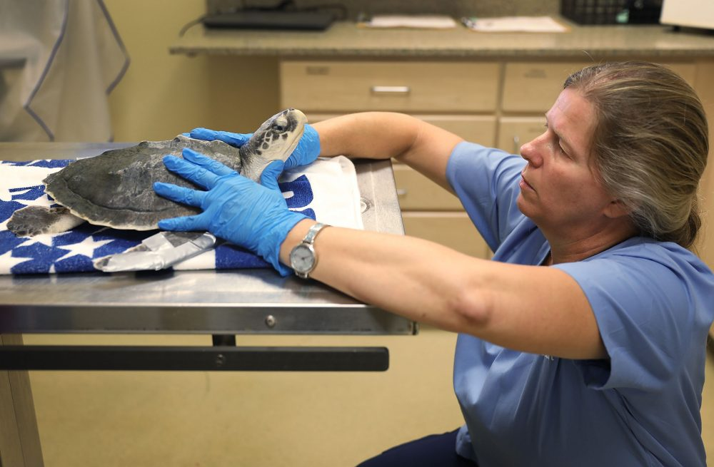 Veterinarian Dr. Heather Barron, from the Clinic for the Rehabilitation of Wildlife, checks the health of a Kemp's ridley sea turtle that was found washed ashore after becoming sick in the red tide on Aug. 1, 2018 in Sanibel, Fla. (Joe Raedle/Getty Images)