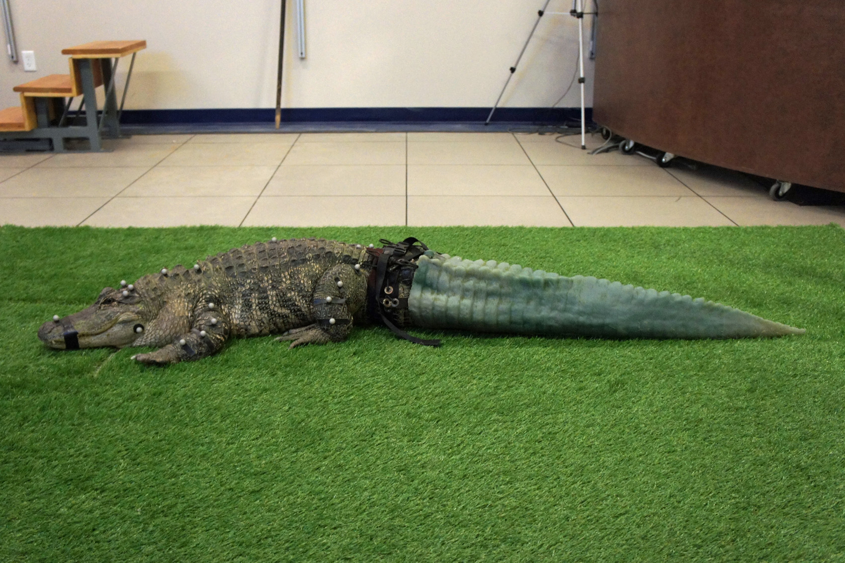 Mr. Stubbs and his 3D-printed tail. (Courtesy Phoenix Herpetological Society)