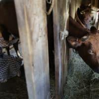 Ellen Watterson reenacts an 1830s farm worker milking a cow named May in a barn at Old Sturbridge Village. (Steven Senne/AP)