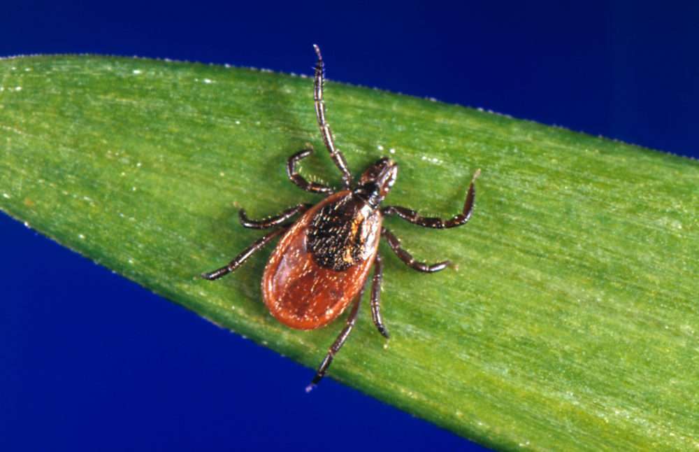 This undated photo provided by the U.S. Centers for Disease Control and Prevention (CDC) shows a blacklegged tick — also known as a deer tick. (CDC via AP)