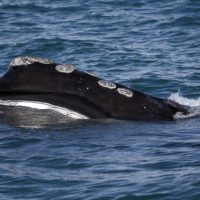The baleen is visible on a North Atlantic right whale as it feeds on the surface of Cape Cod Bay off the coast of Plymouth. (Michael Dwyer/AP)