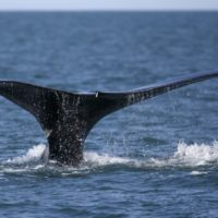 In this March 28, 2018, file photo, a North Atlantic right whale appears at the surface of Cape Cod Bay off the coast of Plymouth. (Michael Dwyer/AP)