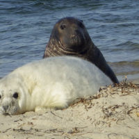 In this 2016 photo released by the National Oceanic and Atmospheric Administration, a gray seal mother and pup lie on the beach of Muskeget Island. (Kimberly Murray/NOAA via AP)