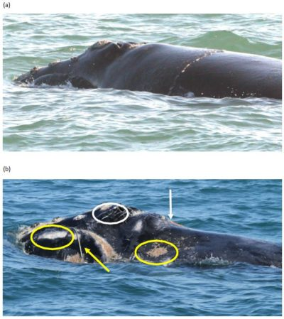 The top photo shows a North Atlantic right whale in good health on Feb. 10, 2010. The bottom photo shows the same whale on Jan. 15, 2011, after getting entangled with fishing gear. The whale later died. (Top photo courtesy of Florida Fish and Wildlife Conservation Commission. Bottom photo courtesy of Georgia Department of Natural Resources)