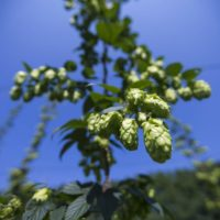 One of Four Star Farms' experimental varieties is this feral hop, which has grown natively in the area for years. (Jesse Costa/WBUR)