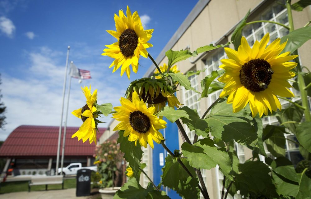 These sunflowers at the Melnea A. Cass Memorial Swimming Pool at 120 MLK Blvd. are part of Holmes' sunflower project. (Robin Lubbock/WBUR)