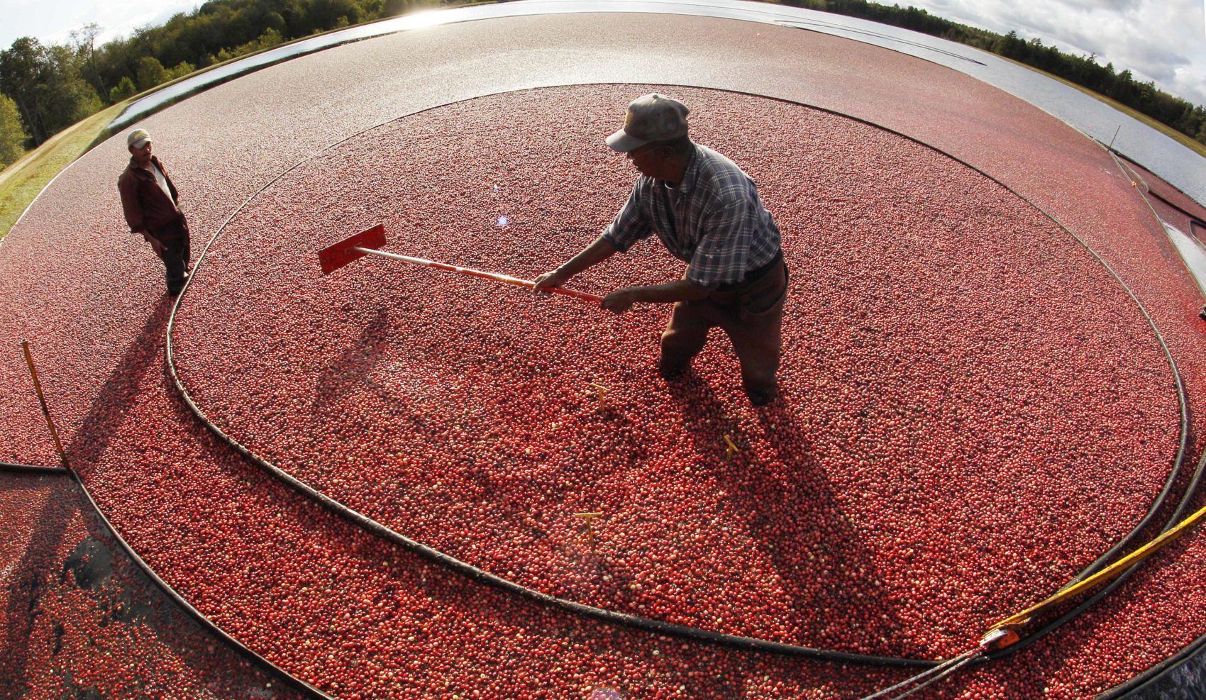In this 2011 file photo, Miguel Sandel of Middleborough rakes cranberries into a loading tube during an afternoon harvest at the Hannula cranberry bogs in Carver.  (Charles Krupa/AP)