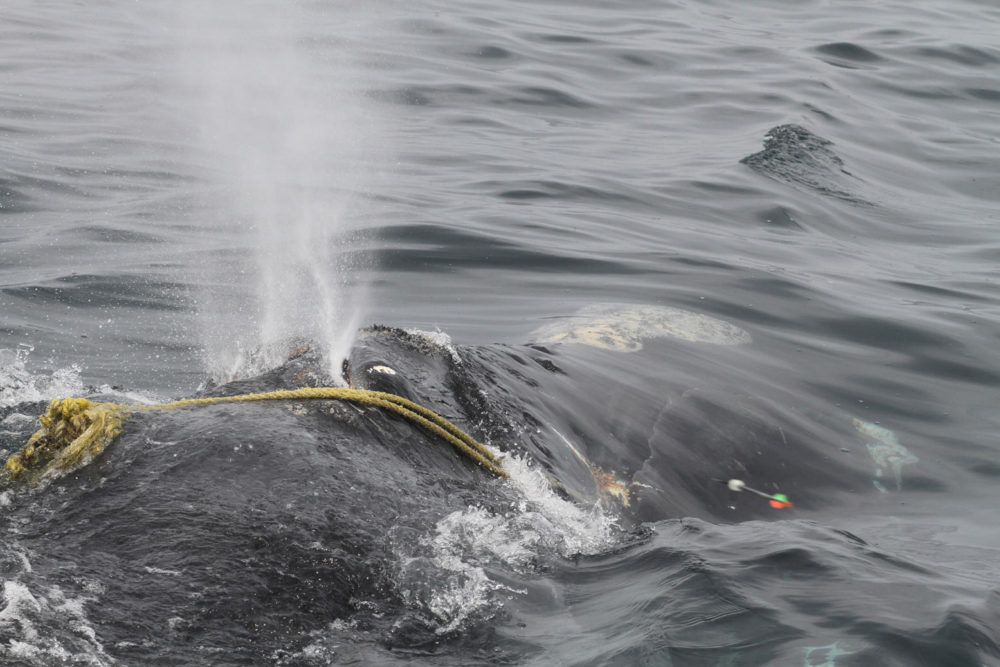 "In this April 12 photo taken by Lisa Sette on Stellwagen Bank off of Massachusetts, a right whale known as ""Kleenex"" is entangled in fishing gear. (Lisa Sette/Center for Coastal Studies via AP)"