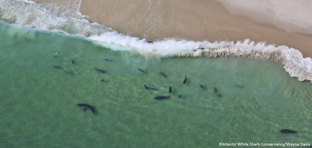 In this undated photo, sharks swim close to shore off Monomoy National Wildlife Refuge in Chatham, Mass. (Wayne Davis/Atlantic White Shark Conservancy via AP)