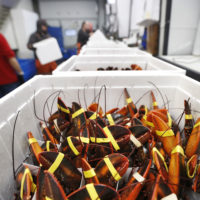 Live lobsters are packed in coolers for shipment to China at The Lobster Company in Arundel, Maine. (Robert F. Bukaty/AP Photo)
