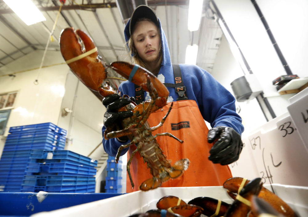 Kyle Bruns packs a live lobster for shipment to Hong Kong at The Lobster Company in Arundel, Maine on Sept. 11, 2018. China is a major buyer of lobsters, and the country imposed a heavy tariff on exports from the U.S. in early July amid trade hostilities between the two superpowers. Exporters in the U.S. say their business in China has dried up since then. (Robert F. Bukaty/AP Photo)