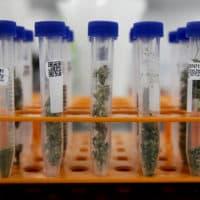 Marijuana samples are organized at Cannalysis, a cannabis testing laboratory, in Santa Ana, Calif., in August. (Chris Carlson/AP)