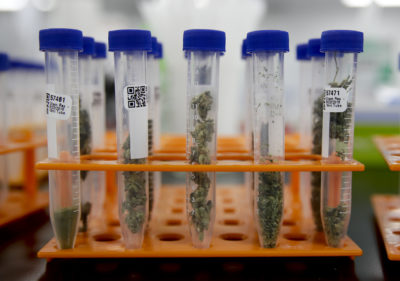 Marijuana samples are organized at Cannalysis, a cannabis testing laboratory, in Santa Ana, Calif., in August. (Chris Carlson/AP)