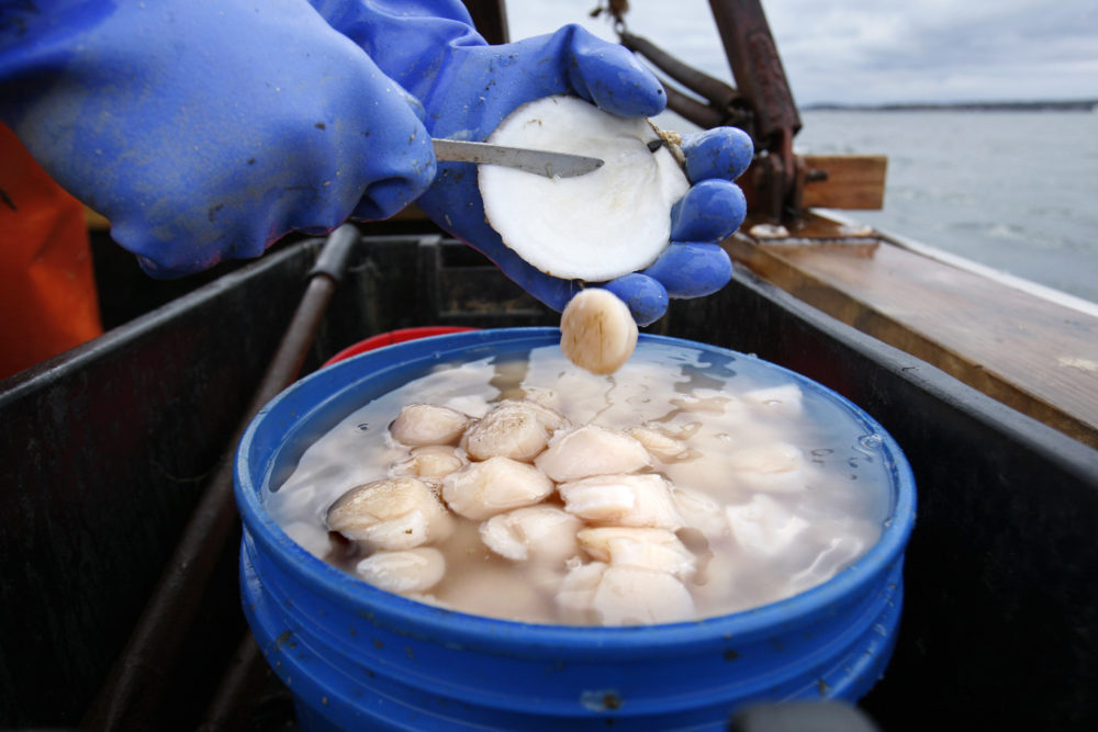 In this 2011 file photo, scallop meat is shucked at sea off Harpswell, Maine. (Robert F. Bukaty/AP)