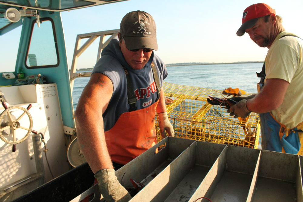 Steve Holler and his sternman Frank Lenardis dump freshly caught lobsters into a holding tray on Holler's boat, the November Gale. (Hannah Chanatry/WBUR)