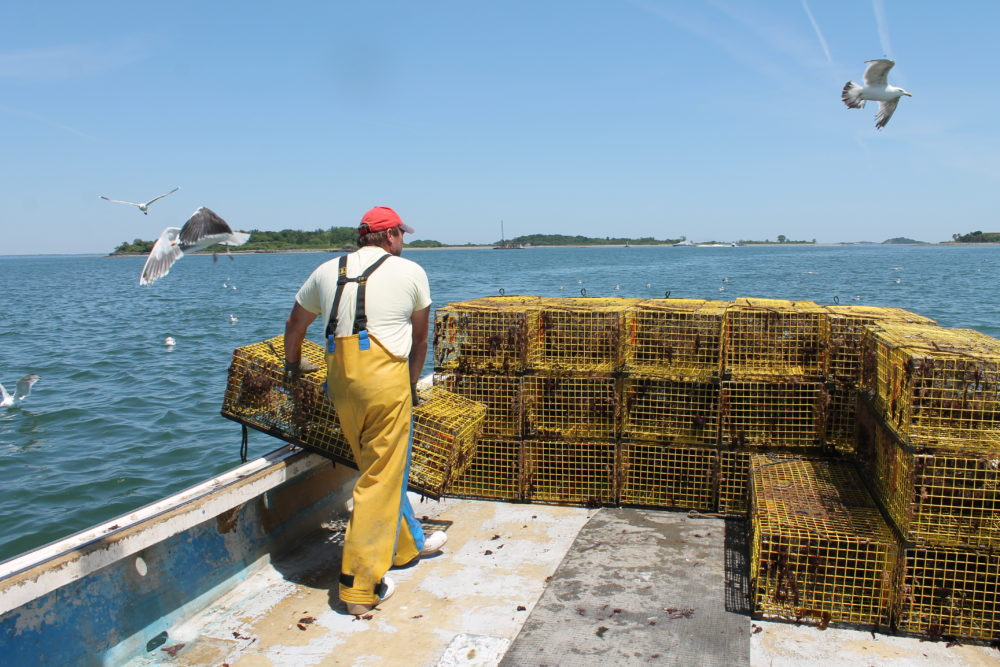 "Sternman Frank Lenardis hauls lobster traps to the back of the boat, as part of what lobsterman Steve Holler refers to as ""a dance between me and him."" (Hannah Chanatry/WBUR)"
