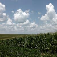 Corn grows in a field near Murray, Neb., July 31, 2018. (Nati Harnik/AP)