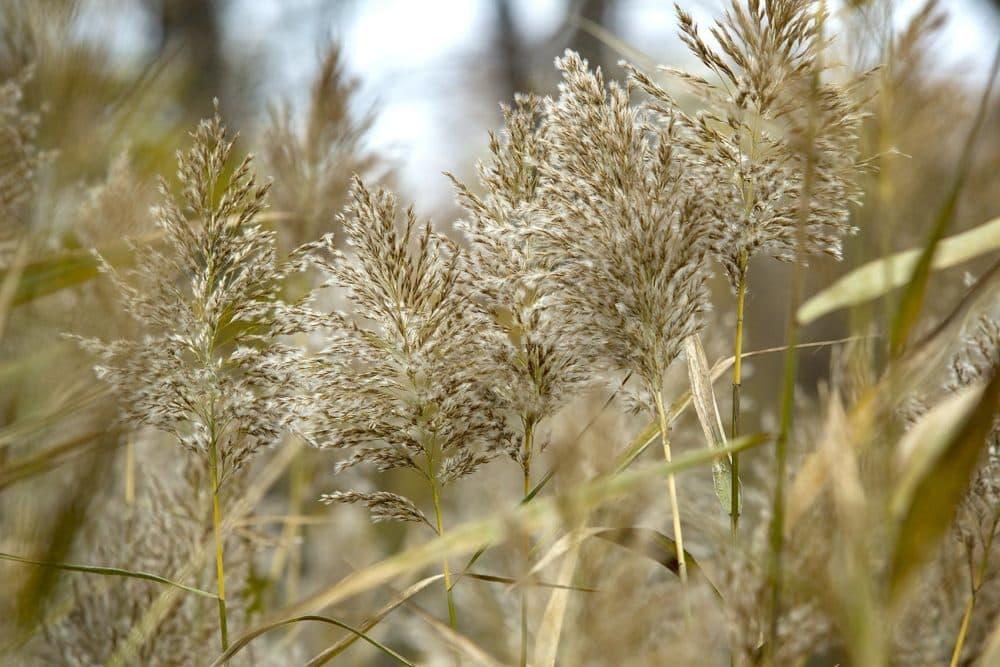 Bushy heads of Phragmites plants at the edge of the Rough Meadows marsh (RobinLubbock/WBUR)