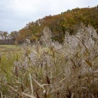 Phragmites skirt the edge of Rough Meadows marsh. (RobinLubbock/WBUR)