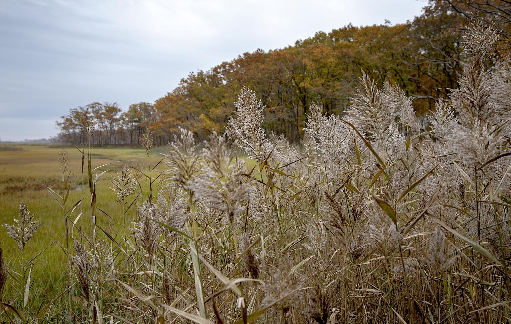 Phragmites skirt the edge of Rough Meadows marsh. (RobinLubbock/WBUR)