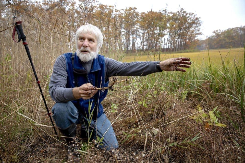 Robert Buchsbaum holds a Phragmites root at the edge of the marsh at Mass. Audubon's Rough Meadows Wildlife Sanctuary in Rowley. (Robin Lubbock/WBUR)