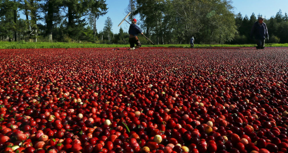 In this Oct. 11, 2016 photo, farmworkers walk through a cranberry bog on a farm in Ilwaco, Wash. (Ted S. Warren/AP)