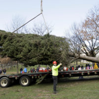 Arborists Joe White, left, and Christian Bugbee signal a crane operator to guide a 40-foot white spruce tree into place on the Boston Common in Boston Friday, Nov. 21, 2008. Each year Nova Scotia donates a giant evergreen to the people of Boston as a thank you for their assistance following the 1917 Halifax Explosion. Once erected, the Nova Scotia tree will be decorated with thousands of lights and will be the focal point of the city's annual Christmas tree lighting ceremony. (AP Photo/Elise Amendola)