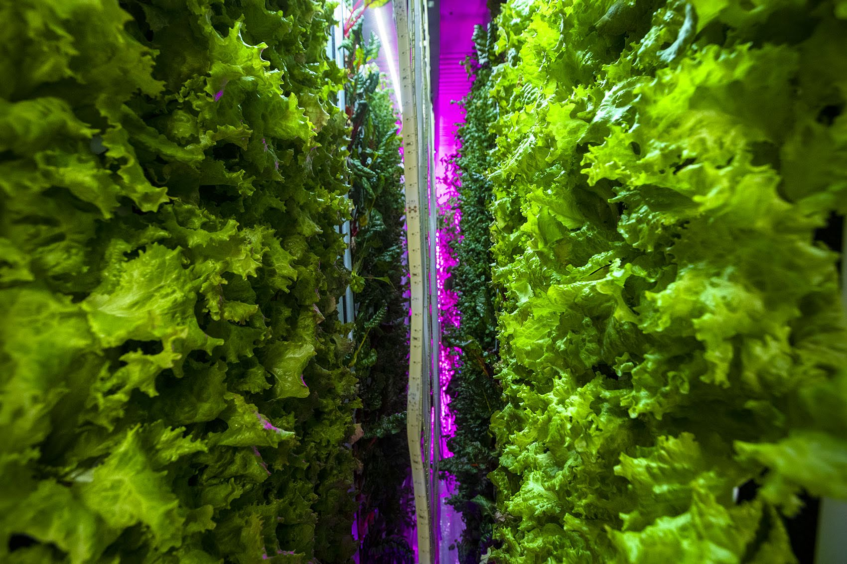 Lettuce grows vertically in a controlled environment using LED lights and a hydroponic growth system in the Freight Farm Leafy Green Machine. (Jesse Costa/WBUR)