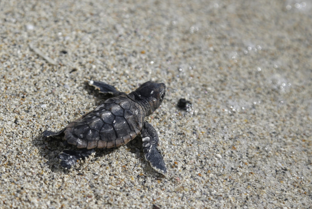 A loggerhead sea turtle hatchling makes its way into the ocean along Haulover Beach in Miami. Opportunities to observe sea turtles in Florida include events where turtles are released into the ocean after they've recovered from injuries or illness, and nighttime walks led by trained guides to see nesting activity. (Lynne Sladky/AP)