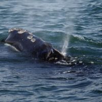 A North Atlantic right whale feeds on the surface of Cape Cod bay off the coast of Plymouth. (Michael Dwyer/AP)