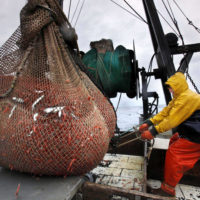 In this Jan. 6, 2012 photo, James Rich maneuvers a bulging net full of northern shrimp caught in the Gulf of Maine. Regulators are closing the Gulf of Maine winter shrimp season for another three years after receiving a dismal report on the depleted fishery. (Robert F. Bukaty/AP)