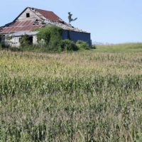In this Aug. 28, 2013, photo drought-stressed corn grows on a farm near Oregon, Mo. (Orlin Wagner/AP)