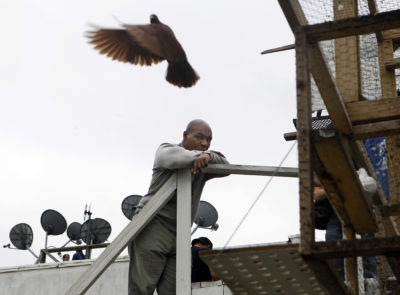 Mike Tyson watches racing pigeons fly near a rooftop coop in Jersey City, N.J. (Mel Evans/AP)