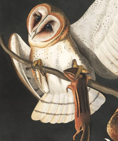 Barn owl by John James Audubon (Courtesy National Audubon Society)
