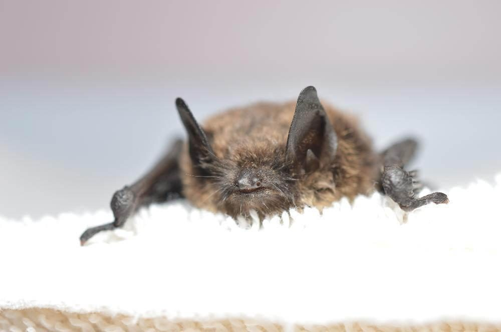 A little brown bat confirmed to have white-nose syndrome. (USFWS/Progressive Animal Welfare Society (Paws)/Creative Commons)