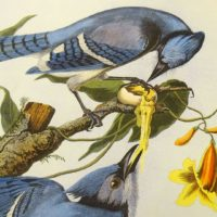 Blue Jays by John James Audubon (Courtesy National Audubon Society)