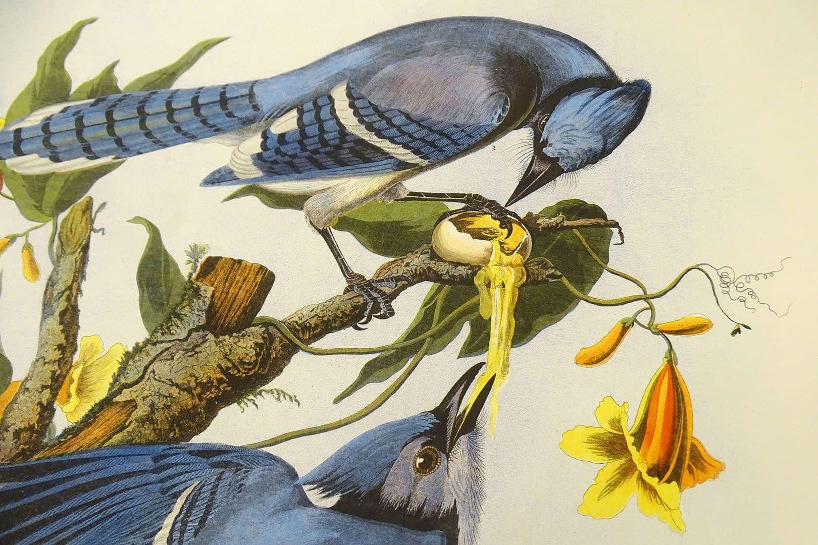 Blue Jays by John James Audubon (Courtesy National Audubon Society)