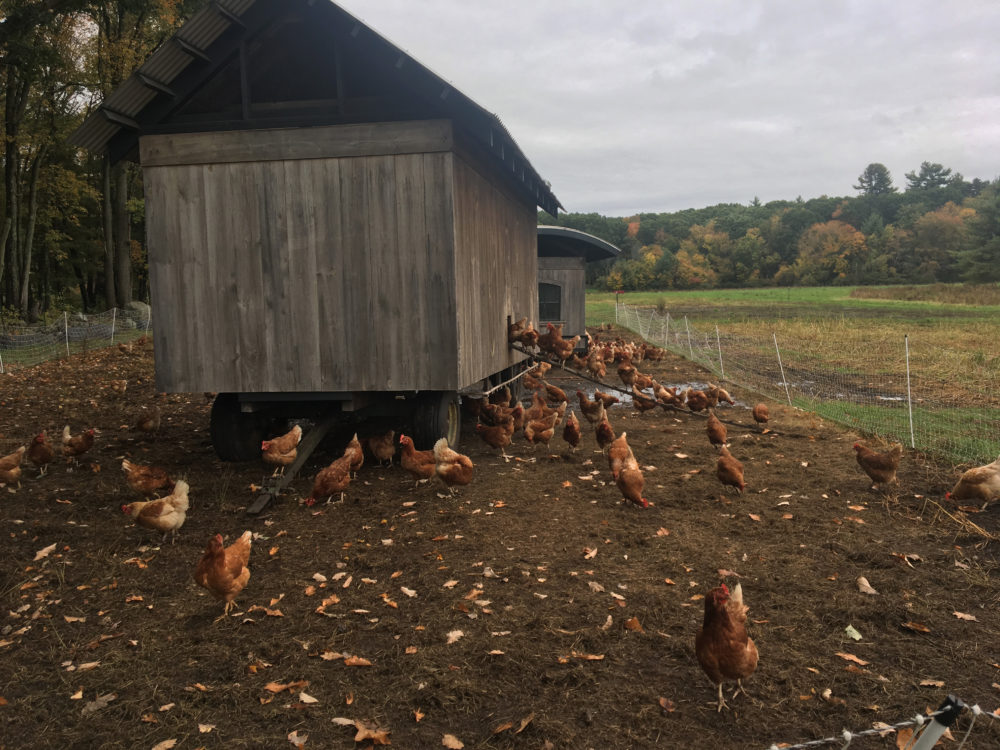 Chickens roam around their mobile coop at the farm in Carlisle, Mass. (Amory Sivertson/WBUR)