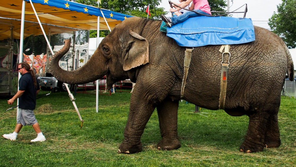 Tim Commerford leads his elephant Beulah and two customers at the Goshen Fair in Goshen, Connecticut, in August. (Ben James/NEPR)