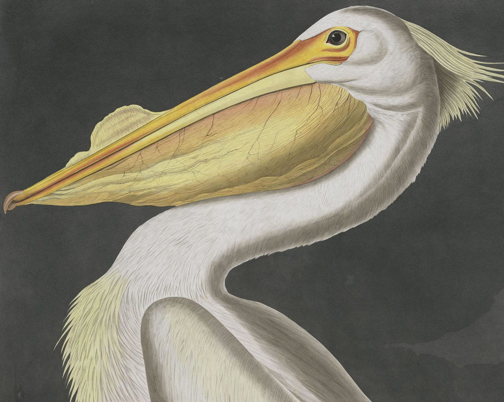 "A pelican by John James Audubon from ""The Birds of America"" (Courtesy National Audubon Society)"
