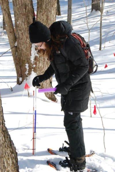 Pamela Templer measures soil frost depth in Hubbard Brook Experimental Forest in New Hampshire. (Courtesy Pamela Templer)