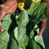 Cooks may be having a hard time finding collard greens this holiday season, after hurricane-related bad weather in the Southeast negatively impacted the growing season. Pictured: A man shows off collard greens harvested in Miami. (Joe Raedle/Getty Images)