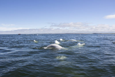 Beluga whales in the Hudson Bay. (Courtesy Allison Maria Rodriguez)