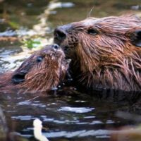 Beavers interact in the water. (National Park Service)