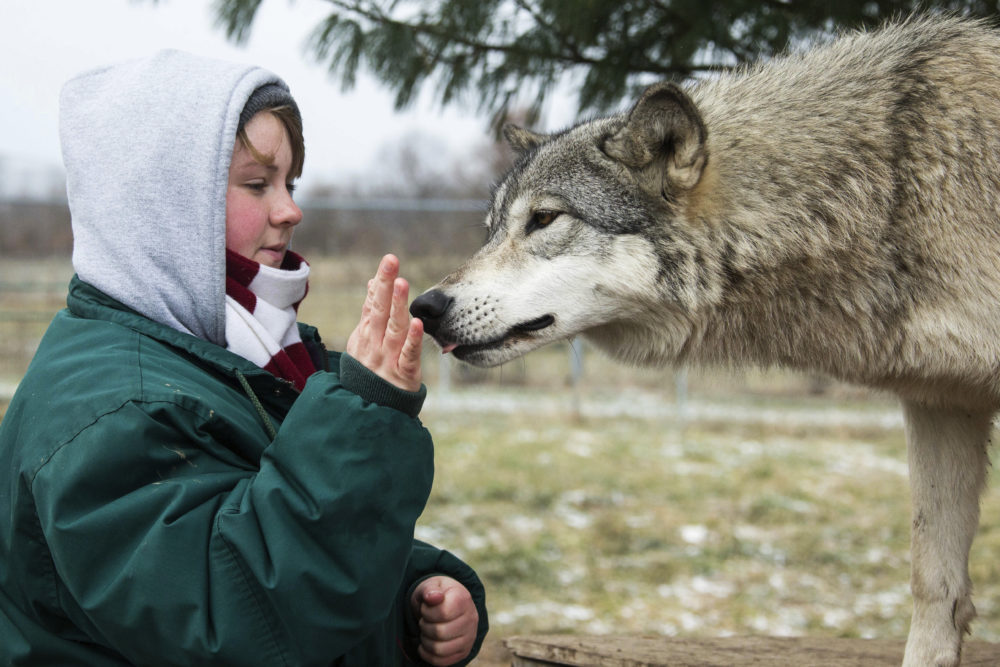 In this December 2018 photo provided by Wolf Park, intern Alexandra Black pets Niko the wolf at Wolf Park in Battle Ground, Ind. The fatal mauling of Black, a zoo intern by a lion that escaped from a locked pen at the Conservators Center in North Carolina, illustrates the need for state regulators to crack down on unaccredited exhibitors of dangerous animals, animal welfare advocates said Monday, Dec. 31. (Monty Sloan/Wolf Park via AP)