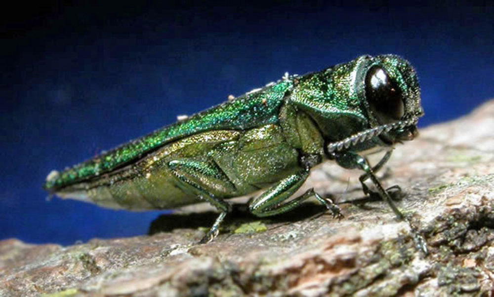In this undated file photo provided by the Minnesota Department of Natural Resources, an adult emerald ash borer is shown. (Minnesota Department of Natural Resources via AP)