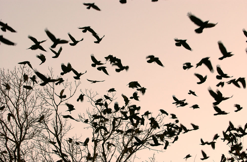 Every winter for the past three years, roughly 100,000 migratory crows descend on Nampa, Idaho. Pictured: Crows fly over a tree where others are already camped for the night in Bucharest, Romania, on Wednesday, Feb. 8, 2006. (Vadim Ghirda/AP)
